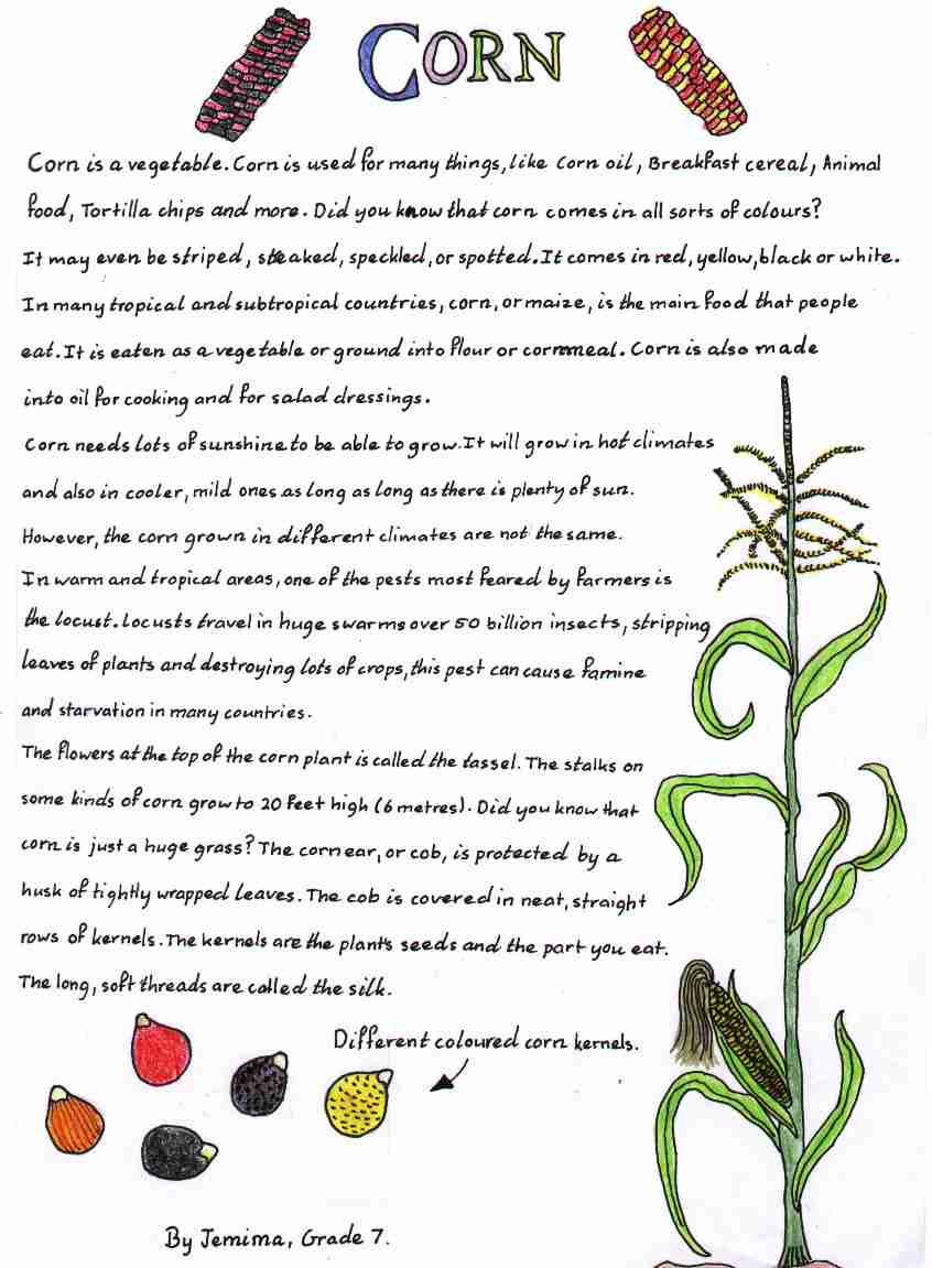 corn project for students to learn about corn and its uses corn